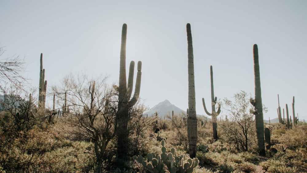 cactus plants in the desert